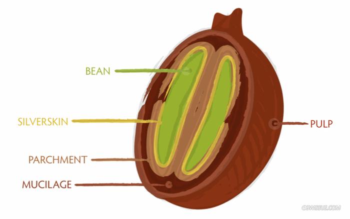 bean-cross-section-1024x644.png