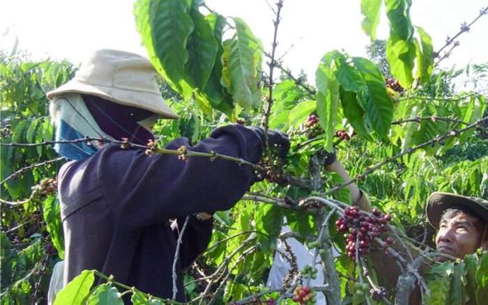 Coffee_Vietnam_harvesting1.jpg