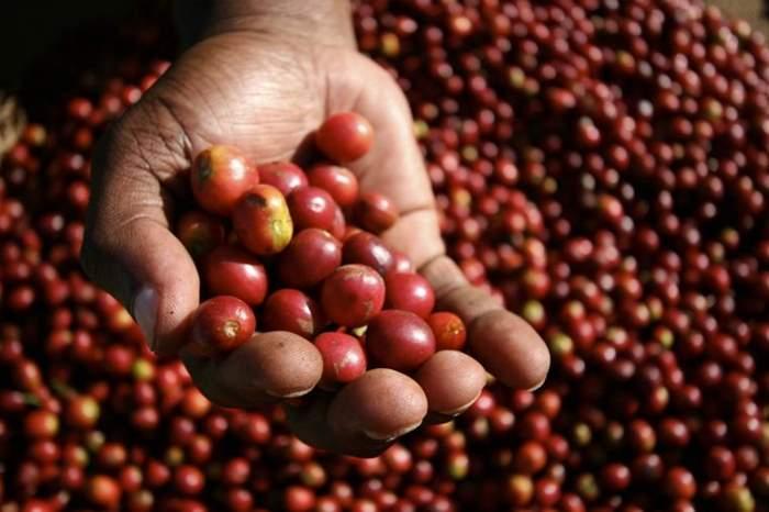 coffee-cherries.jpg